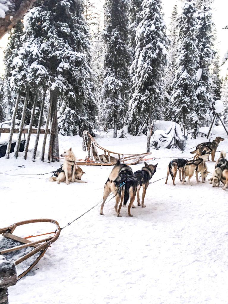 Hundeslæde i Lapland