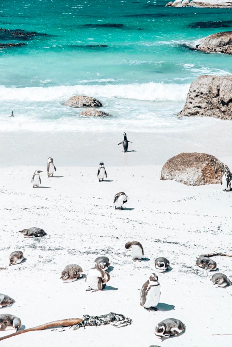 Pingviner i Cape Town
