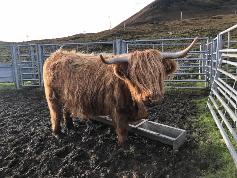 Skotske køer