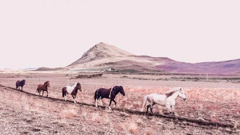 Hesteridning på Island